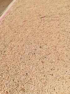 semi di cece di Nardò